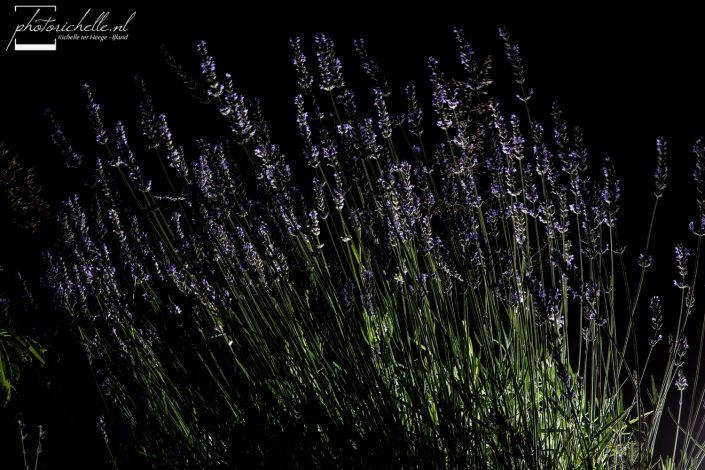 Lavendel in het donker